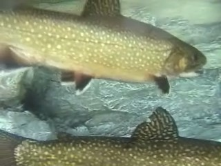 Brook Trout